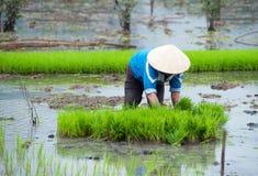 рис Вьетнам поля Рисовые поля Ninh Binh Стоковая Фотография RF