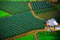 Рис, Вьетнам Стоковое Изображение RF