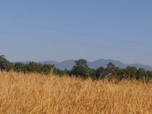 Рис в Асоме & x28; india& x29; Стоковые Изображения RF