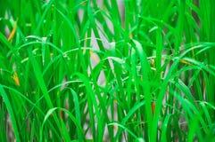 Рис в воде Стоковая Фотография RF