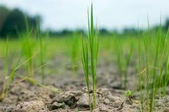 Рис в земле которая имеет никакой воду, Стоковое Фото