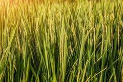 Рис в Индии стоковое изображение rf