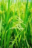 Рис в конце-вверх поля стоковая фотография