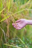 Рис в наличии Стоковые Фото