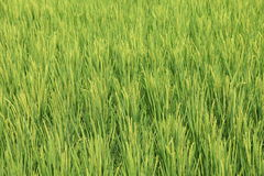 Рис в поле Стоковые Изображения