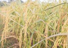 Рис в поле Стоковое Изображение