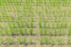 Рис в поле Стоковые Фото