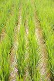 Рис в полях риса Стоковое Изображение RF