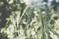 Рис в рисовых полях в сельской местности луг пшеницы в обрабатываемой земле Стоковая Фотография RF