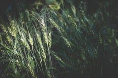 Рис в рисовых полях в сельской местности луг пшеницы в обрабатываемой земле Стоковые Изображения
