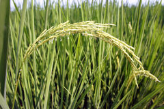 рис жасмина зерен Стоковая Фотография RF