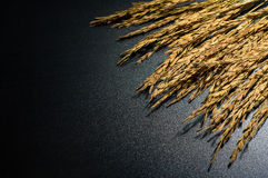Рис жасмина падиа на темной предпосылке с трудным светом Стоковое Изображение