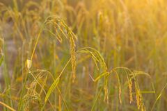 рис жасмина стоковое фото