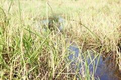 рис жасмина Стоковые Изображения