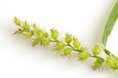 Рис джунглей, рис птиц (colona ежовника (l ) Связь) Стоковое Изображение