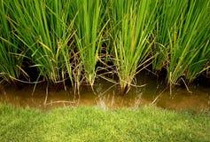 Рис, завод хлопьев Стоковая Фотография