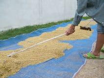 Рис засыхания фермером Стоковые Изображения