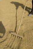 рис засыхания Стоковое Изображение RF