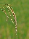 рис зерен Стоковая Фотография RF