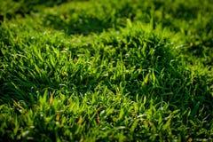 рис зеленого цвета травы поля принципиальная схема экологичности Естественная предпосылка Стоковое Изображение RF