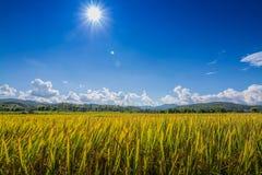 Рис золота хранил под голубым небом и облаком во времени сбора Стоковое Изображение