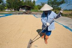 Рис и грабл засыхания стоковая фотография