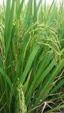 Рис и лист семени Стоковое фото RF