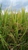 Рис и облако stromy Стоковая Фотография
