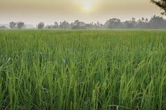 Рис и поля Стоковое Изображение