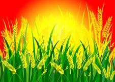 Рис и солнце Стоковое Изображение RF