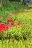 рис красного цвета поля амарулиса Стоковая Фотография