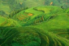 рис ландшафта поля зеленый Стоковое Изображение