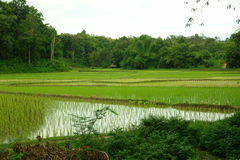 рис ландшафта поля Стоковая Фотография RF