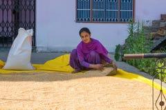 Рис молодой индийской женщины кладя в мешки стоковая фотография