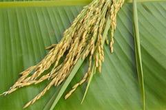Рис на зеленых листьях Стоковое Изображение