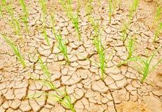 Рис на поле засухи, земле засухи Стоковая Фотография