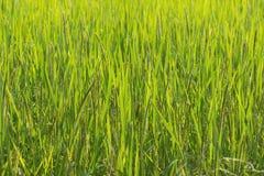 Рис на полях Стоковое Изображение RF