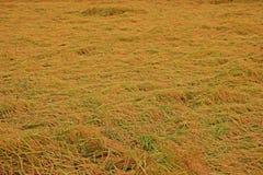 Рис на сборе сброса давления периода от повреждения причины ветреного состояния к качеству зерна риса стоковая фотография
