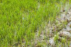 Рис осеменяя завод стоковое фото rf