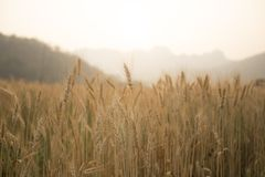 Рис от к северу от Таиланда Стоковое Изображение