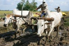 Рис перехода тележки буйвола в мешке риса Стоковое Фото