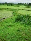 рис полей зеленый Стоковые Фотографии RF