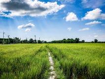 рис полей зеленый Стоковая Фотография RF