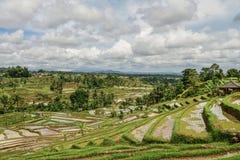 рис полей зеленый Стоковое Изображение