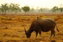 рис поля буйвола Стоковая Фотография