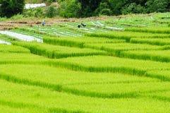 рис поля зеленый Стоковые Фотографии RF
