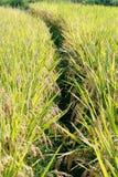 рис поля урожая стоковые изображения