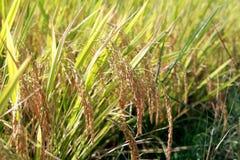 рис поля урожая Стоковые Изображения RF