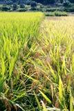 рис поля урожая стоковая фотография rf