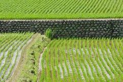 рис поля Стоковые Фото